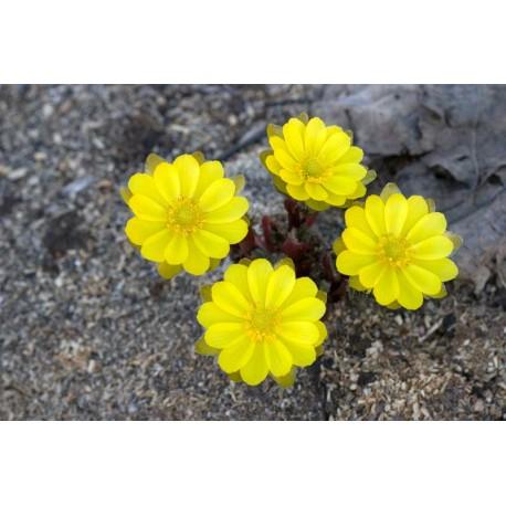Adonis amurensis seedlings mix, amuuri adoonis seemikute segu