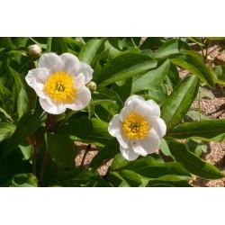valgeõieline pojeng, seemikud