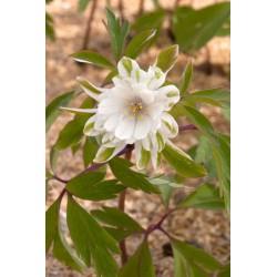 võsaülane 'Bracteata Pleniflora'