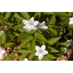 Anemone trifolia 'Hermagor'